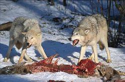 250px-Wolves_Kill